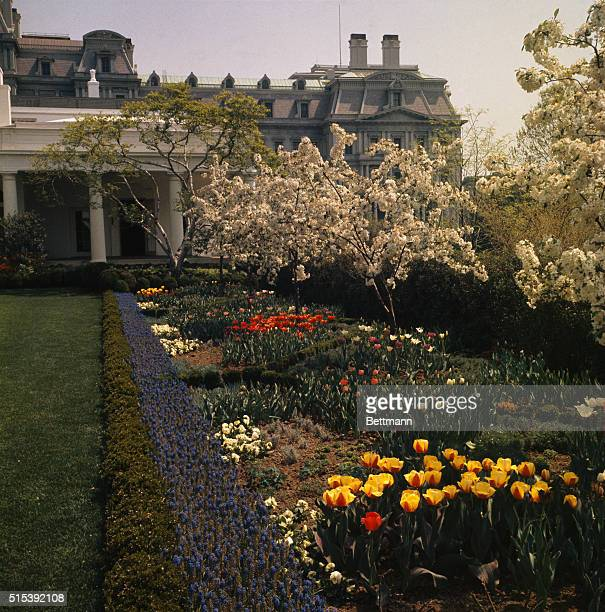 Flowers are in full bloom in the White House Rose Garden, Washington, DC, on April 27, 1963.