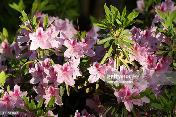 Flowers are seen during a practice round prior to the 2011 Masters Tournament at Augusta National Golf Club on April 4, 2011 in Augusta, Georgia.