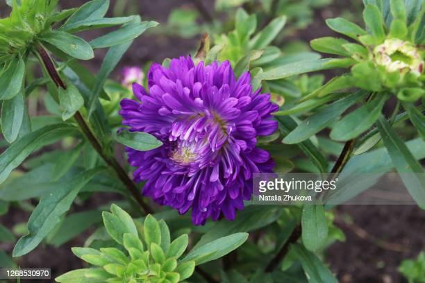 flowers astra garden