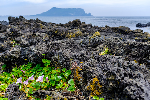 Flowers at the volcanic rock on the beach of Jeju Island - gettyimageskorea