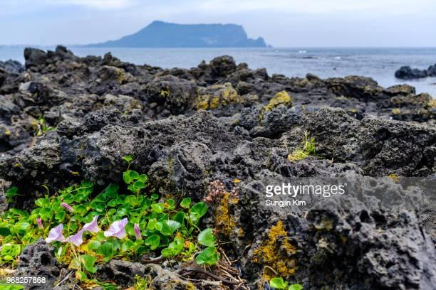 flowers at the volcanic rock on the beach of jeju island - jeju stock-fotos und bilder