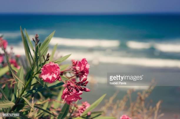 flowers behind the sea - peniscola photos et images de collection