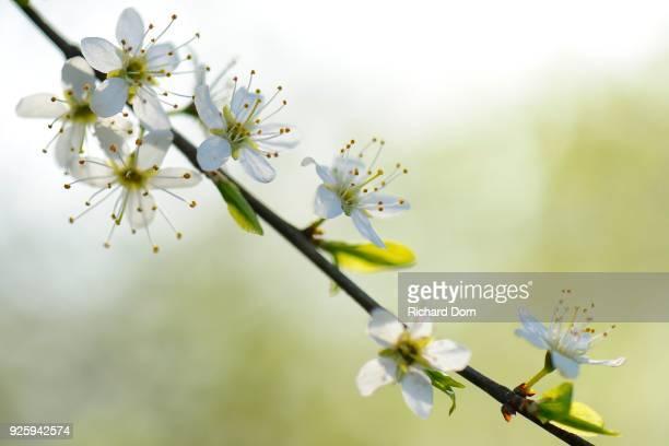 Flowers, blackthorn (Prunus spinosa), Rheinberg, Lower Rhine, North Rhine-Westphalia, Germany