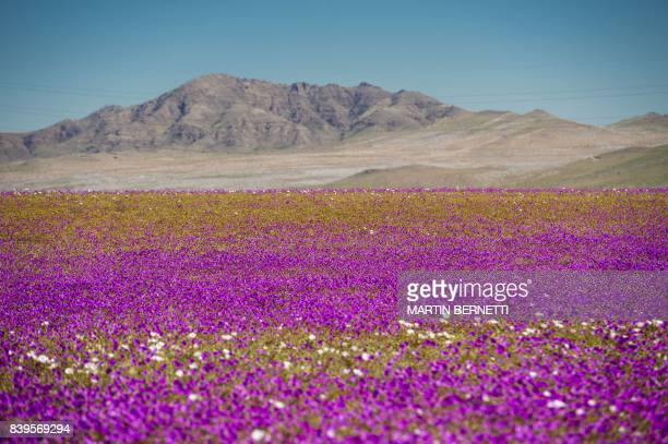 Flowers bloom at the Huasco region on the Atacama desert some 600 km north of Santiago on August 262017 In years of very heavy seasonal rains a...