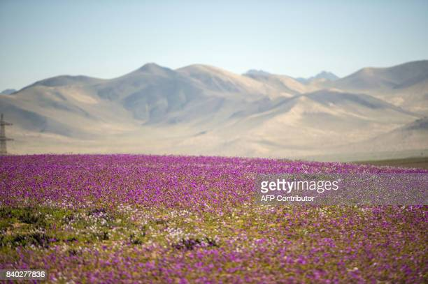 Flowers bloom in the Atacama desert in the Copiapo region some 800 km north of Santiago on August 28 2017 A gigantic mantle of multicolored flowers...