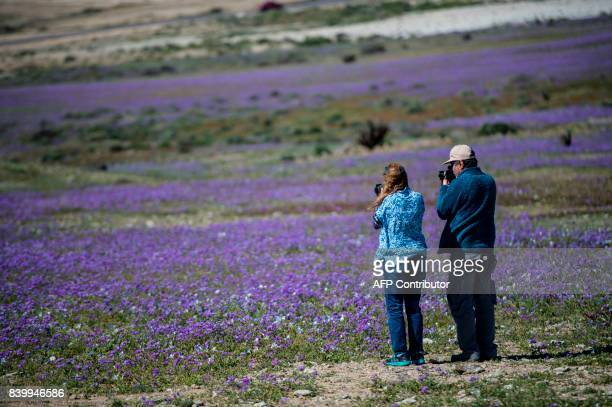 Flowers bloom in the Copiapo region in the Atacama desert some 800 km north of Santiago on August 27 2017 A gigantic mantle of multicolored flowers...