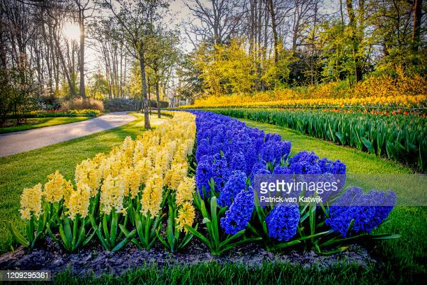 Flowers bloom in the Keukenhof flower garden which is closed because of the Corona Crisis on April 06 2020 in Lisse Netherlands The Coronavirus...