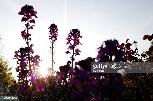 Flowers bloom in the Rose Garden of Hyde Park in London, England, on April 9, 2020. As Britain begins what is forecast to be a warm Easter holiday...