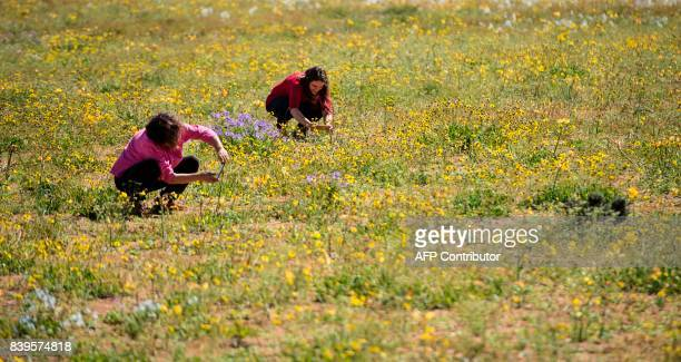 Flowers bloom on the Atacama desert at the Huasco region some 600 km north of Santiago on August 26 2017 In years of very heavy seasonal rains a...