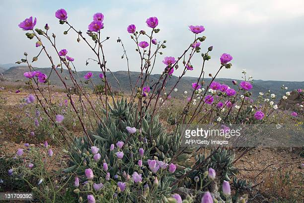 Flowers bloom on the desert in the Llanos de Challe national park at the doors of the Atacama desert 600 km north of Santiago on November 5 2011 An...