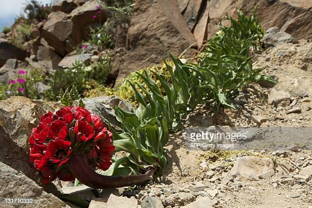 Flowers bloom on the desert in the Llanos de Challe national park at the doors of the Atacama desert 600 km north of Santiago on November 5 2011 An...