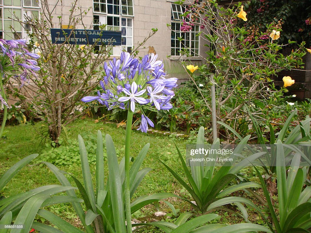 Flowers Blooming At Garden By Building : Stock Photo