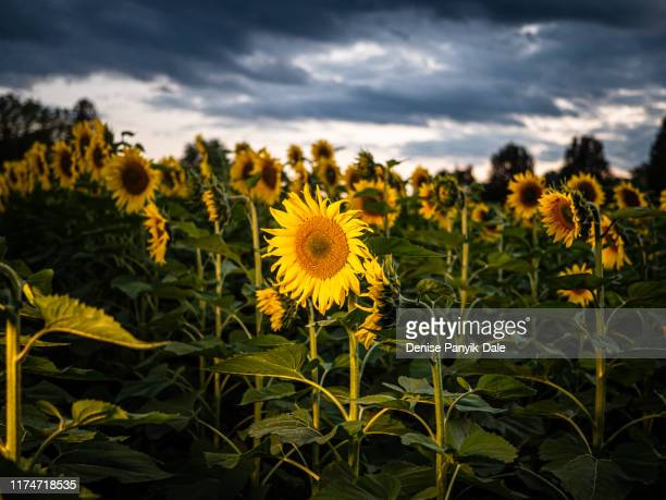 flowers blooming on autumn evening - panyik-dale stock photos and pictures