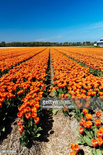 Flowers Blooming On Field Against Clear Sky