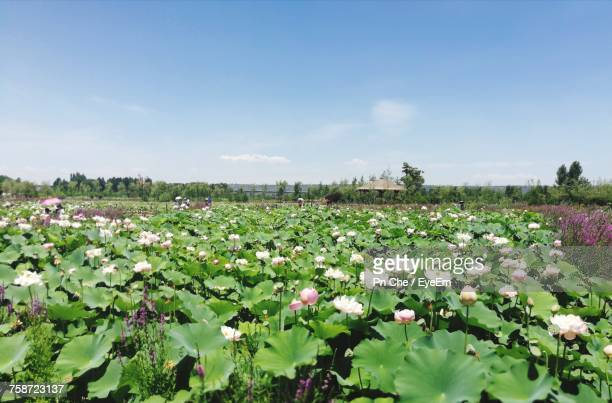 flowers blooming on field against sky - frische stockfoto's en -beelden