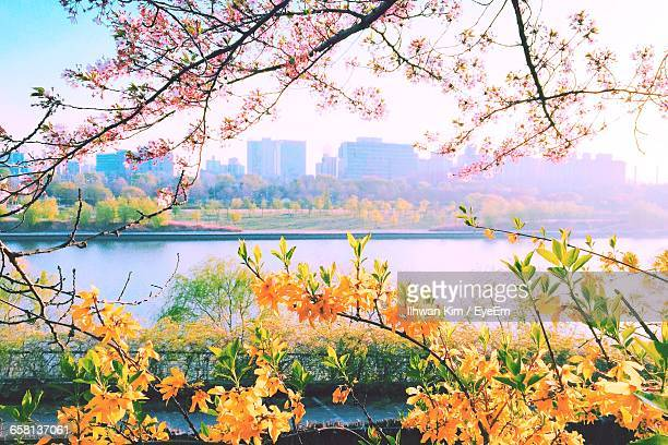 Flowers Blooming On Tree With City In Background