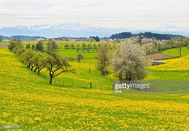 Flowers blossom in pasture landscape near the Alp in Horgenzell-Rolgenmoos, southern Germany on April 25, 2012. Meteorologists forecast sunny days...