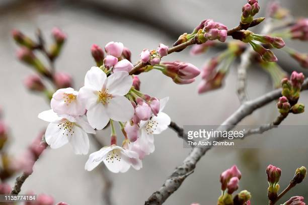 Flowers blossom on the designated someiyoshino cherry tree at Yasukuni Shrine on March 21 2019 in Tokyo Japan