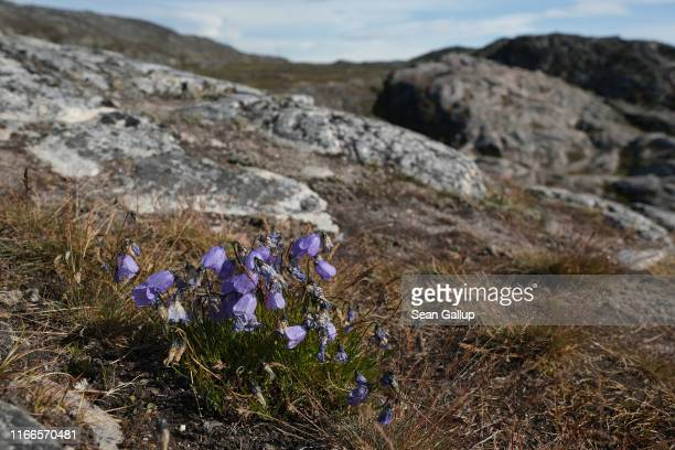 Flowers called arctic harebell grow on a hillside at the Ilulissat Icefjord on July 30 2019 near Ilulissat Greenland As the Earth's climate warms...