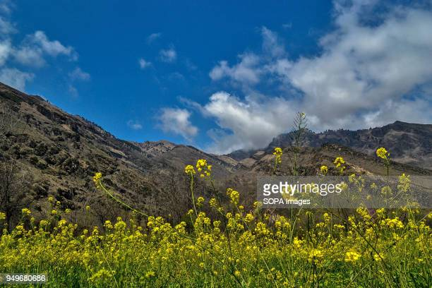 Flowers can be seen in full bloom in a mustard field in Awantipora 35kms south of Srinagar Indian administered Kashmir According to the Directorate...