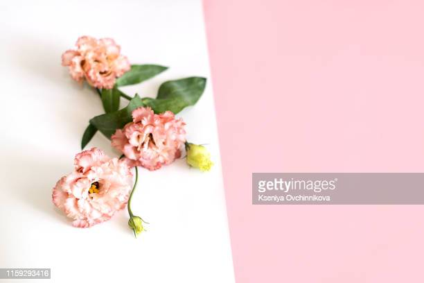 flowers composition background . pink flowers azalea pattern on white background. top view. copy space. holiday concept - pastellfarbig stock-fotos und bilder
