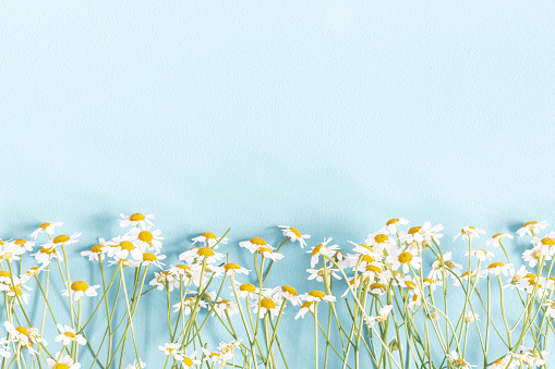 Flowers composition. Chamomile flowers on pastel blue background. Spring, summer concept. Flat lay, top view, copy space 1133779953