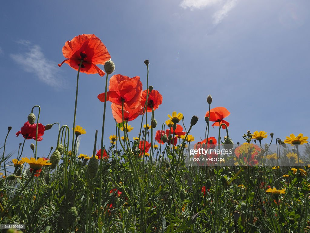 Flowers Field of poppies with sky blue : Photo