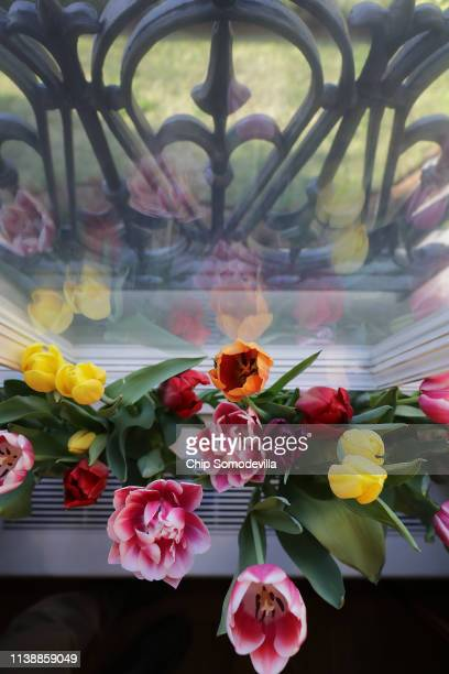 Flowers fill window sills at the Dutch Ambassador's residence during the Tulip Days celebration March 28, 2019 in Washington, DC. 15,000 plants,...