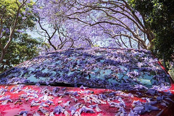 The Full Bloom Of Jacaranda Tree From Australia To South