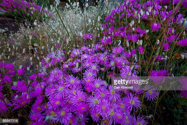 Flowers grow in the Table Mountain National Park ahead of the 2010 FIFA world Cup on October 22 2009 in Cape Town South Africa