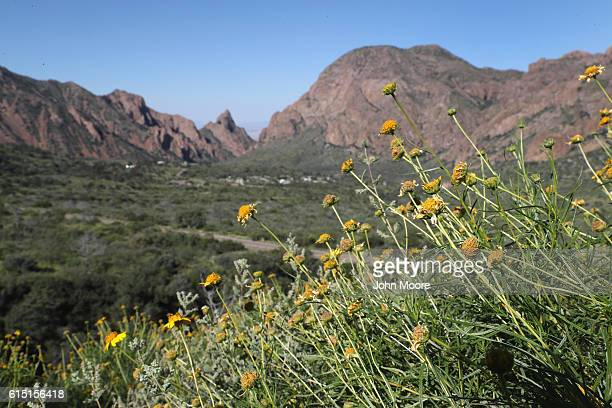 Flowers grow overlooking the Chisos Basin on October 16, 2016 in the Big Bend National Park in West Texas. Big Bend is a rugged, vast and remote...