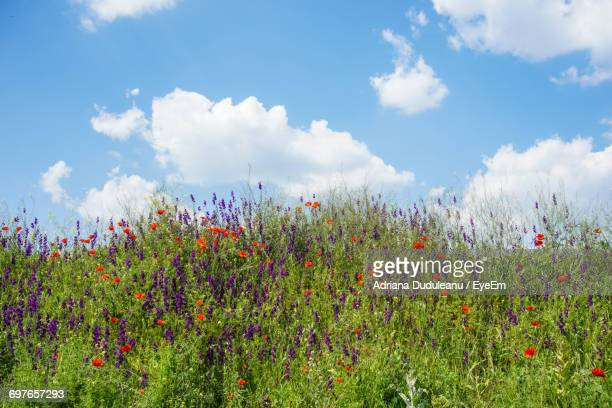 flowers growing in field - adriana duduleanu stock photos and pictures