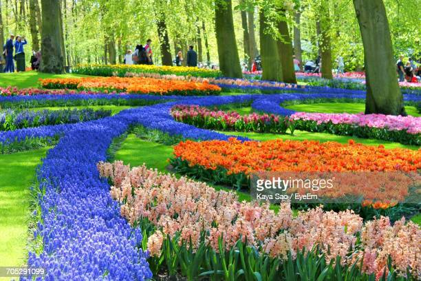 flowers growing in park - keukenhof gardens stock pictures, royalty-free photos & images