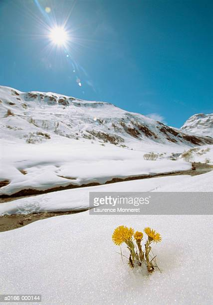 flowers (tussilago farfara) growing in snow - coltsfoot stock photos and pictures