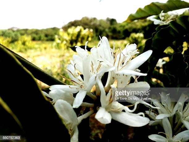 Flowers Growing On Coffee Plant At Farm