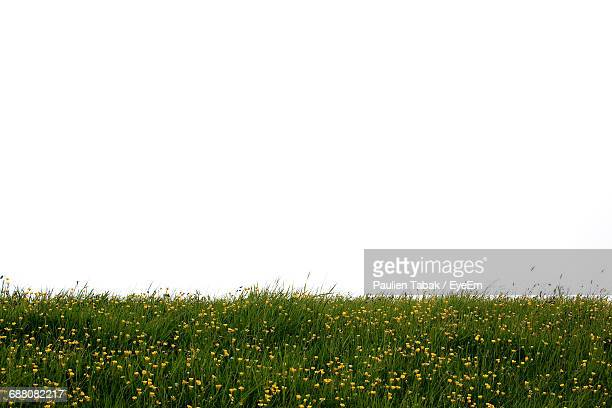 flowers growing on grassy field against clear sky - paulien tabak stock pictures, royalty-free photos & images