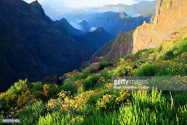 flowers growing on mountain - madeira stock photos and pictures