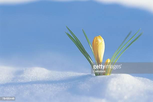Flowers growing through snow