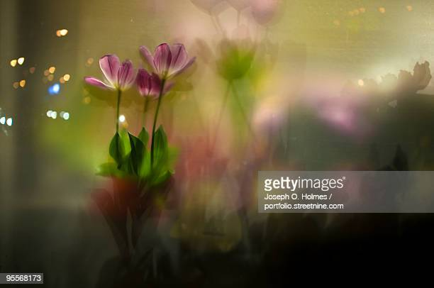 flowers in a frosted window - joseph o. holmes stock pictures, royalty-free photos & images