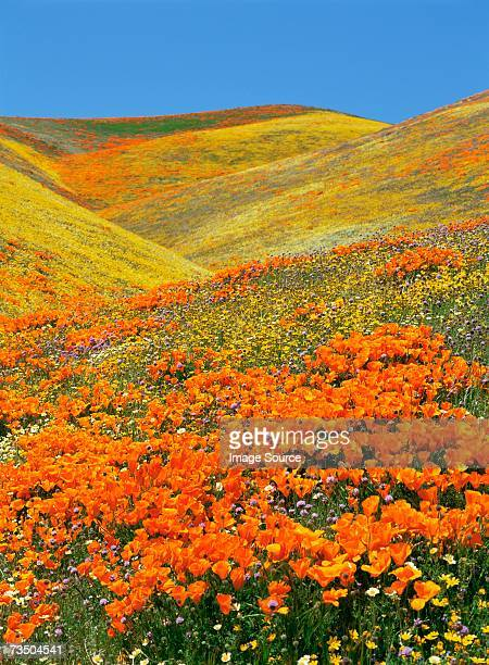 flowers in antelope valley - california golden poppy stock pictures, royalty-free photos & images