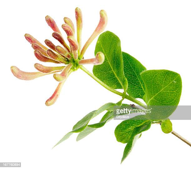 flowers in buds of honeysuckle plant isolated on white - honeysuckle stock pictures, royalty-free photos & images