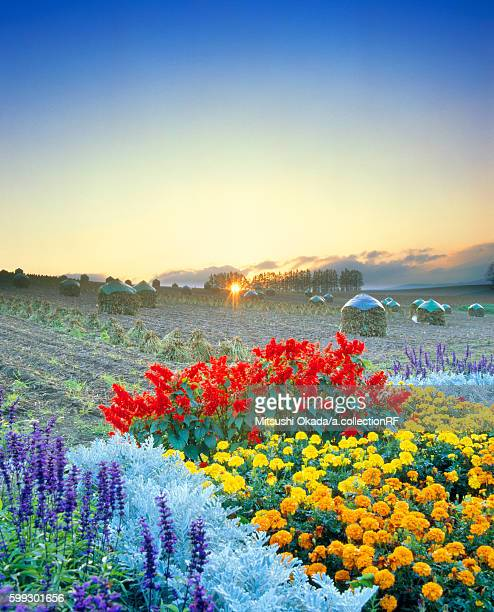 Flowers in field at sunset
