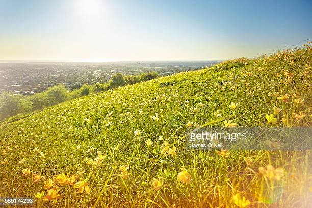flowers in field with Adelaide city