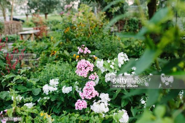 flowers in garden - kamperen stock pictures, royalty-free photos & images