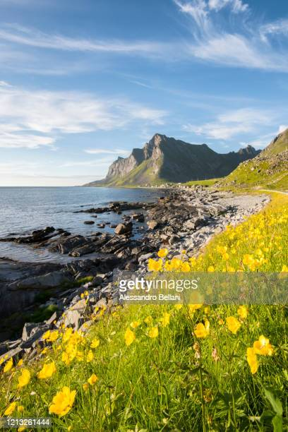 flowers in lofoten islands, norway, europe - northern norway stock pictures, royalty-free photos & images