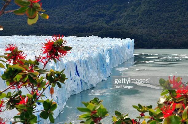 Flowers in Perito Moreno Glacier, Patagonia