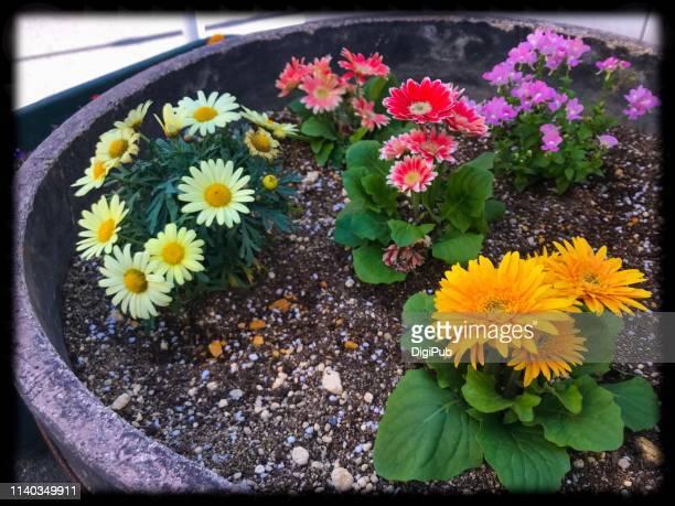 flowers in round planter - chrysanthemum stockfoto's en -beelden