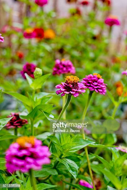 flowers in serbia - bavosi stock pictures, royalty-free photos & images
