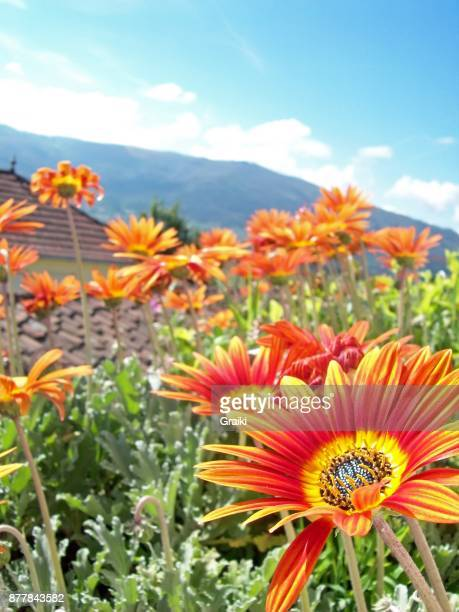 Flowers in the garden in Galicia Spain with the mountains in the background
