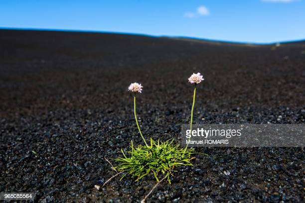 flowers in the middle of volcanic ashes in laki, lakagigar, iceland - volcanic landscape stock pictures, royalty-free photos & images